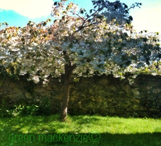 Grannys Blossom Tree - planted in Our Garden in her memory