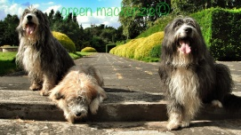 Our Dogs - Newbattle Abbey Walk