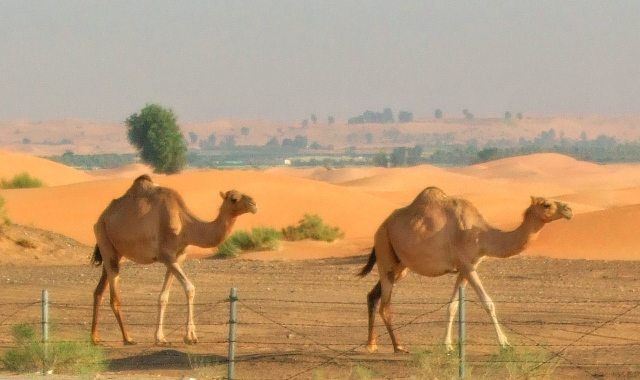 Cammels: Dubai