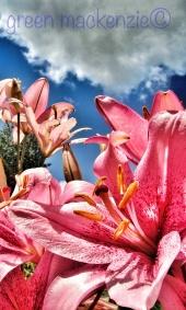 Garden Lillies - July 2012