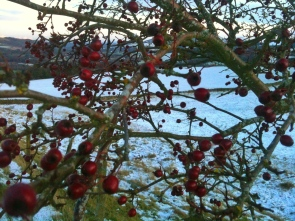 Hawthorn berries - January colour in the Scottish Borders