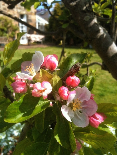 April apple blossom