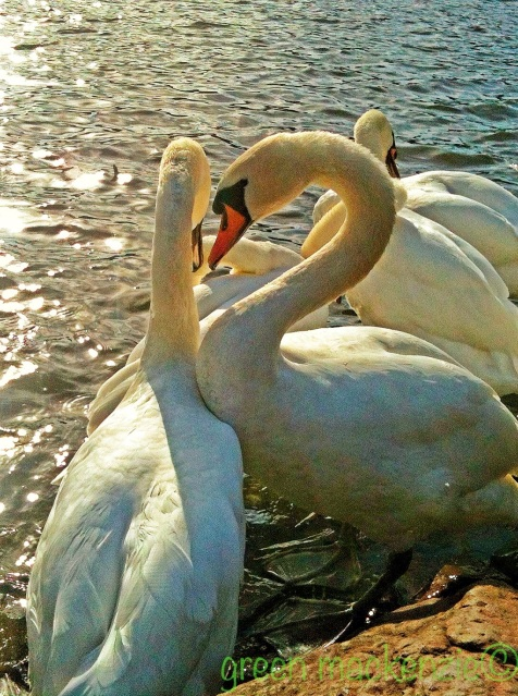 Swans in Holyrood
