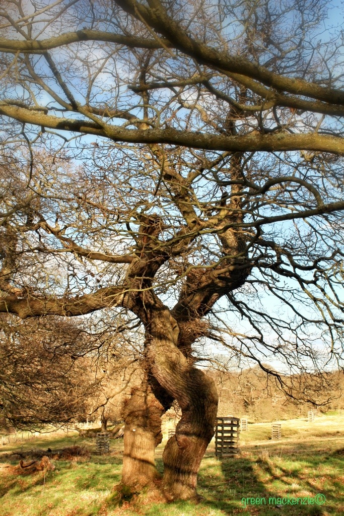 Oak lovers entwined - together forever