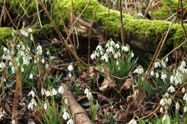 Green Snowdrops and Moss
