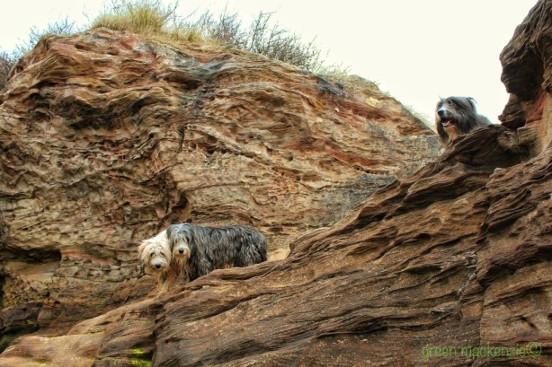 Cliff Face - Wrinkles and Dogs - Gullane 2013