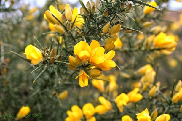 March Gorse - Clifftop Gullane 2013