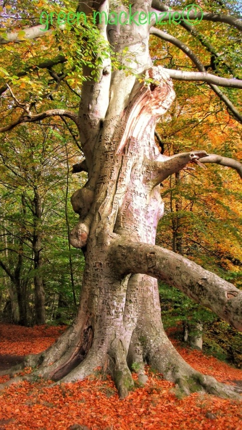 Beech Tree with Love Tatooes