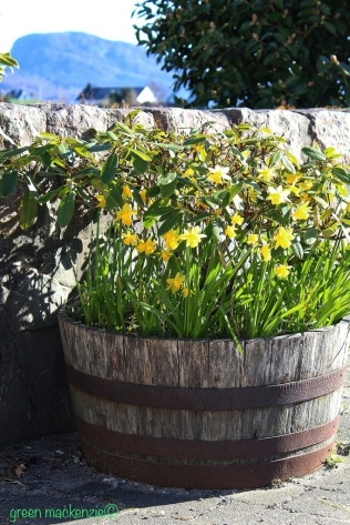 Vintage daffodil tub