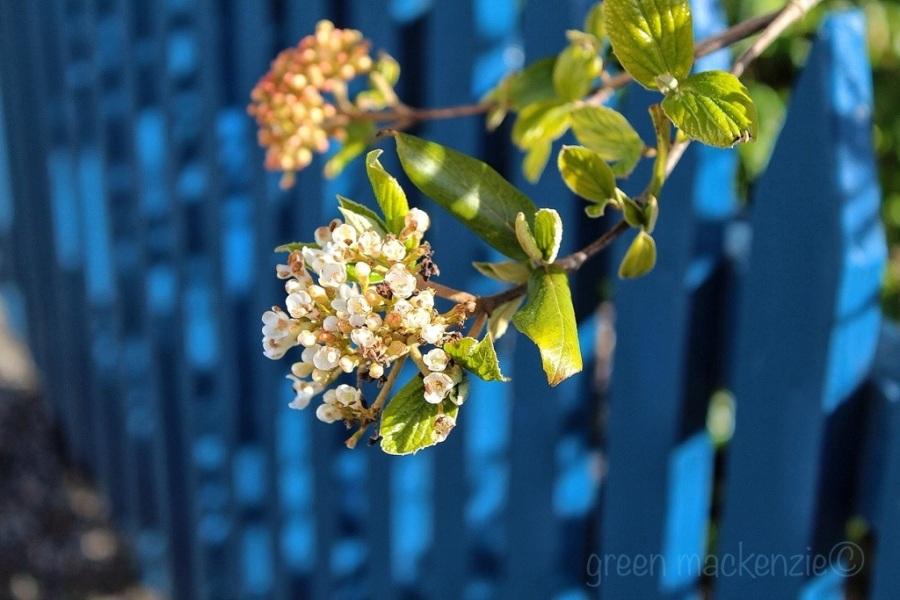 Spring Blossom Plockton