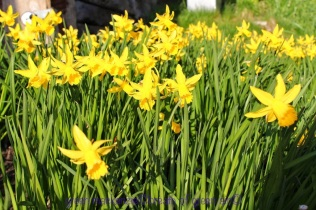 Daffodils, Princes Street Garden