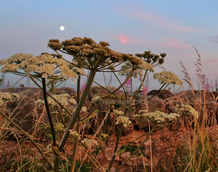 Full Moon at twilight - queen anne's lace