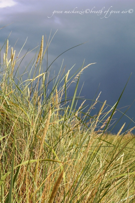 Golden grass in storm cloud