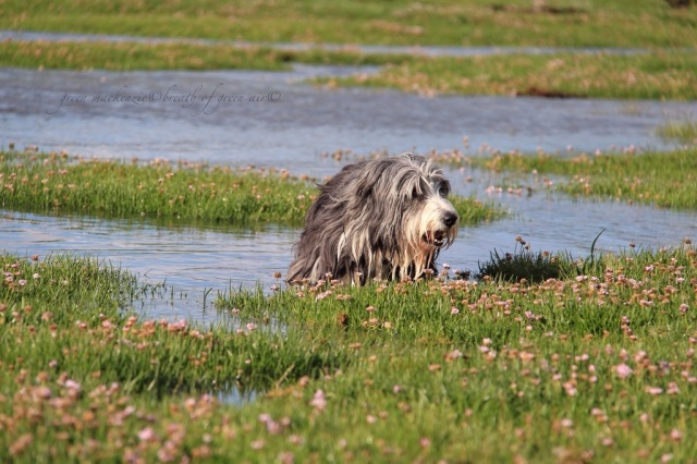 Bearded Collie on Skye