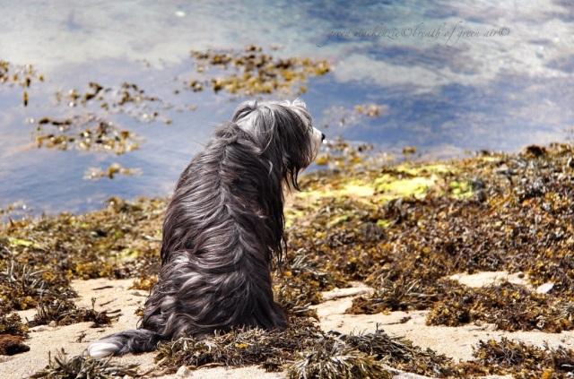 Beardie, enjoying the sea