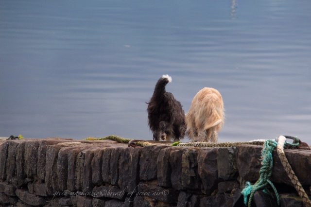 two dogs Plockton stone pier.jpg
