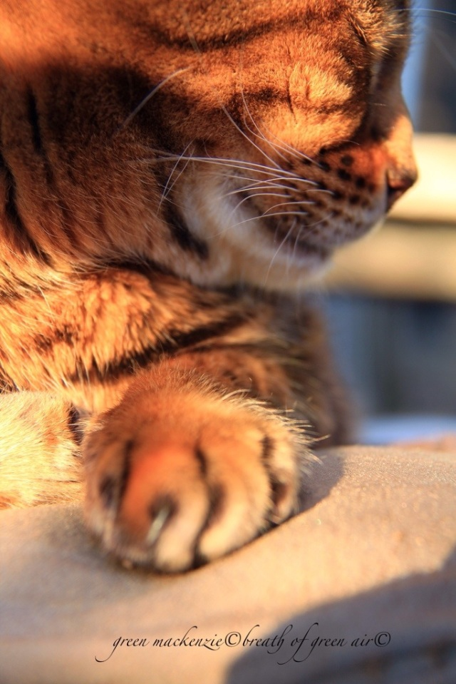Bengal cat basking in sun.jpg