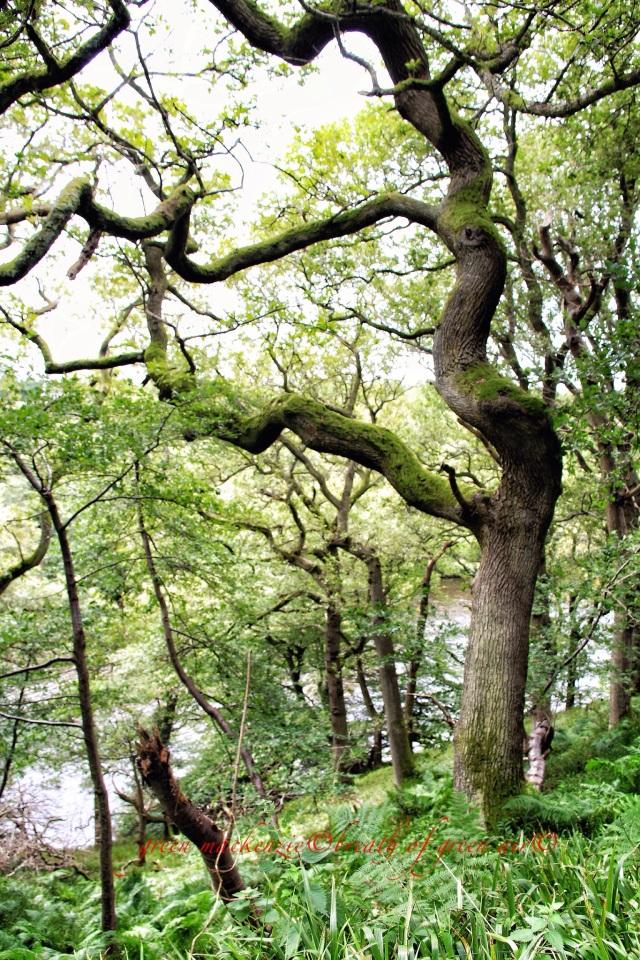 Ancient dancing oak wood.JPG