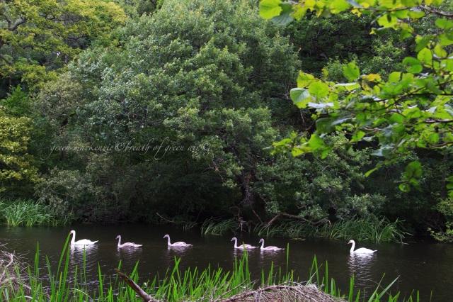 Swan line in lake.JPG