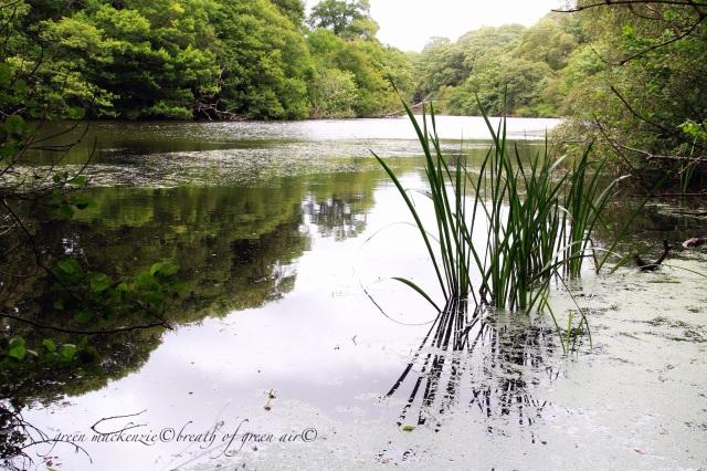 Swans in loch.JPG